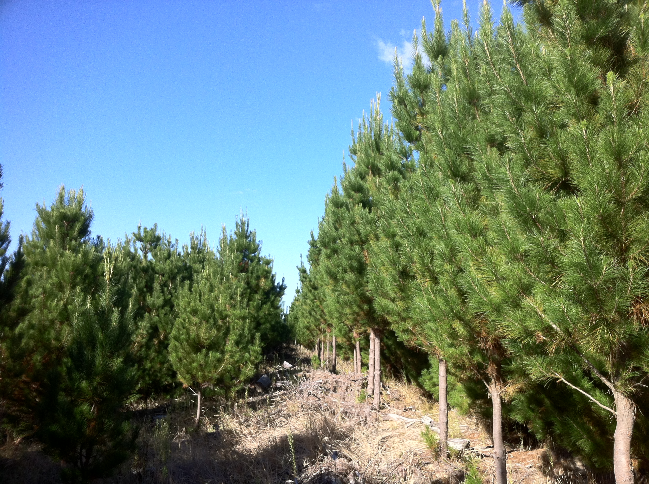 This is a dramatic instance of a Forest Genetics production variety (right) next to control pines (left). Gemview has helped Forest Genetics to achieve some remarkable genetic gains at a fraction of the cost of similar programs.